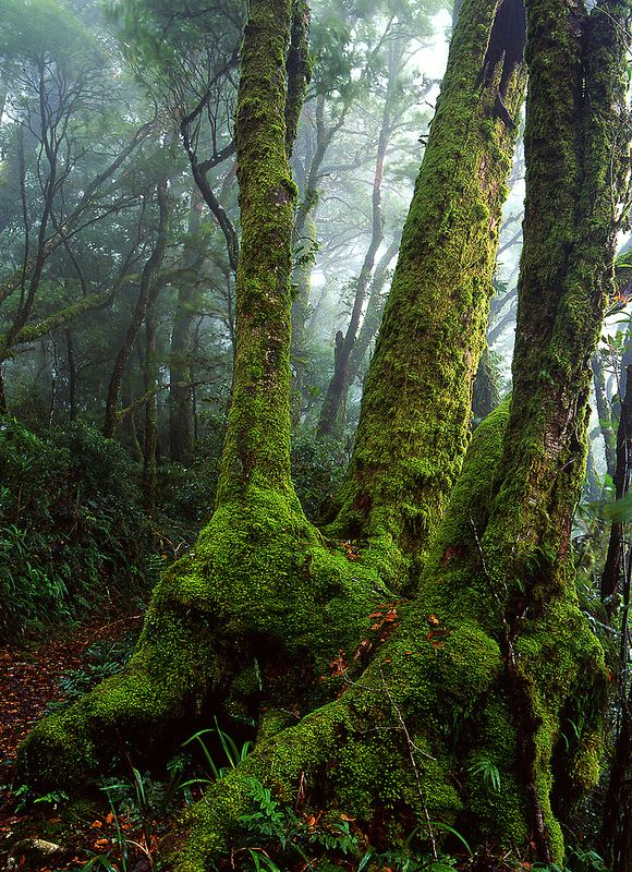 Antarctic Beech Tree, Lamington National Park, Queensland, Australia